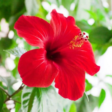 Image - Hibiscus